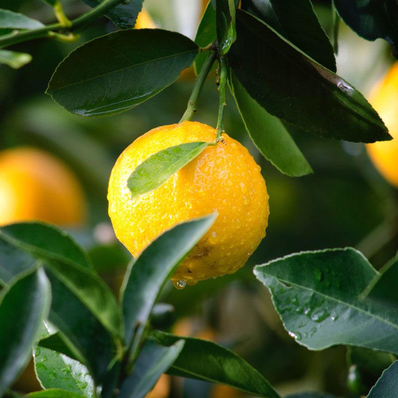limone Sorrento
